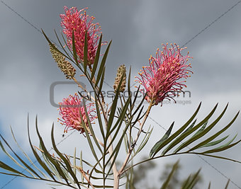 Australian grevillea against cloudy sky