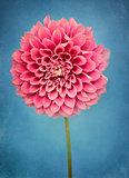 Rustic Pink Dahlia