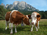 Two young Simmentaler dairy cows