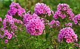 phlox flowers glade