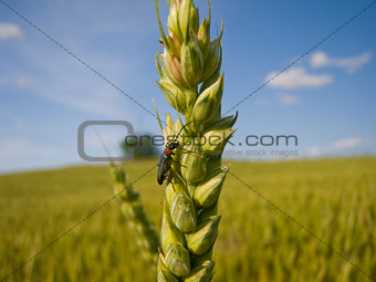 Wheat and an insect close-up