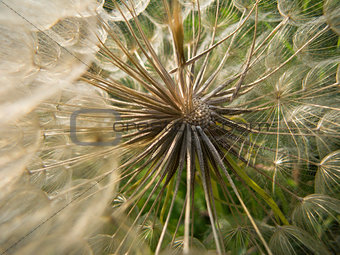 Inside a dandelion