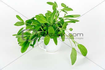A cup of green sage
