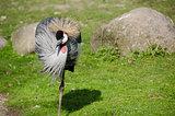 Black Crowned Crane, Balearica pavonina