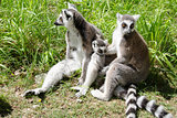 Family of ring-tailed lemurs