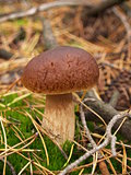 Boletus edulis in the autumn forest