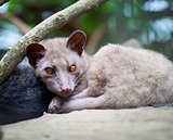 Asian Palm Civet - luwak