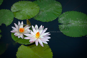 Beautiful white lilies flowers on a pond