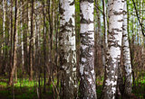 Trunks of birch trees in the northern forest