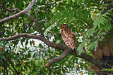 Brown Fish Owl sitting on a tree branch