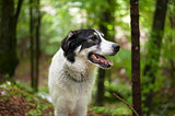 Black and white dog in the forest