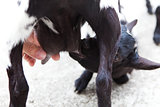 hand and a baby goat on the breast of the mother goat