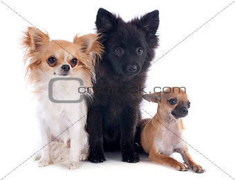 three little dogs
