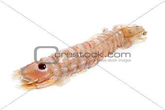mediterranean mantis shrimp