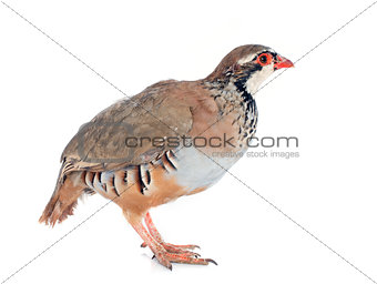French Partridge, Alectoris rufa