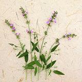 Sage Herb Flowers