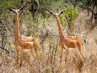 A pair of gerenuk