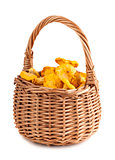 Wicker basket with chanterelle mushrooms