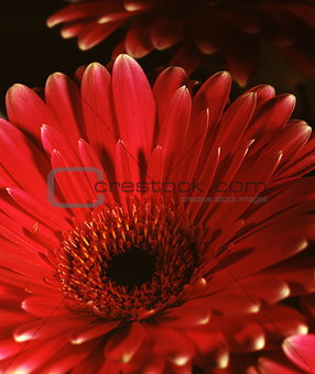 Beauty gerbera flower. Scanned film source from 4x5 view camera