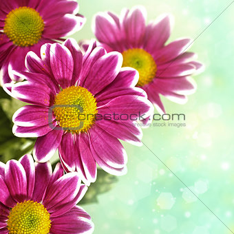 Chrysantemum flowers over green bright background