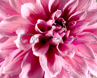 Beautiful lotus flower with water drops on the leafs