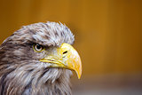 Big Sea Eagle (Haliaeetus albicill) looking ahead