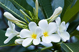 white  and  pink plumeria