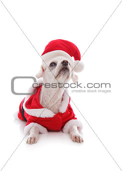 White dog wearing a santa claus suit and looking up