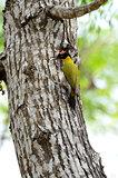 male Black-headed Woodpecker
