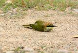 Geen Bee-eater (Merops orientalis)