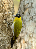 male Black-headed Woodpecker