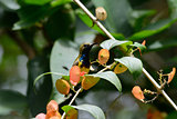 Olive-backed Sunbird (Nectarinia jugularis)