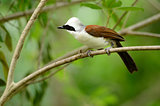 white-crested laughingthrush