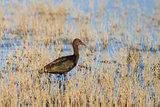 Glossy Ibis (plegadis falcinellus) in Danube Delta, Romania