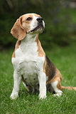 Nice beagle bitch sitting