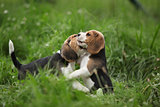 Two adorable puppies playing
