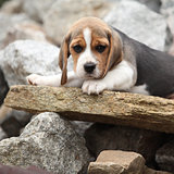 Nice beagle puppy lying on stone