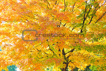 Autumnum glowing maple tree