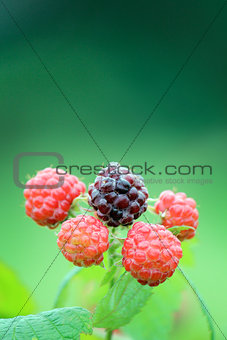 Black Raspberry Closeup