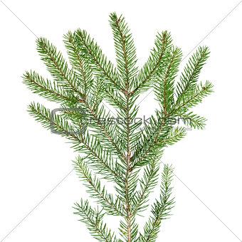 green fir branch for decoration