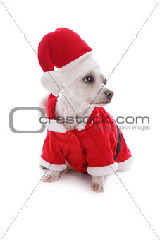 Christmas festive dog wearing santa hat looks sideways