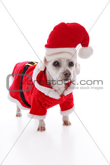 White dog wearing a red and white santa costume