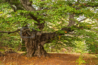 Venerable beech tree