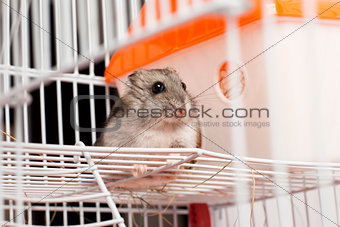 Djungarian hamster in cage