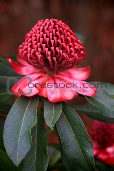 Spectacular Waratah flowering in the garden