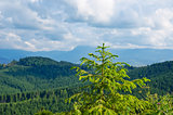 Pine tree closeup over mountain Carpathians