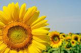part of sunflower over field