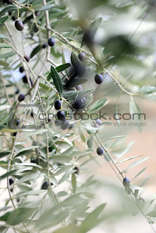 olive twigs