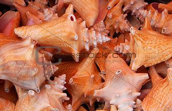 beach conch shells