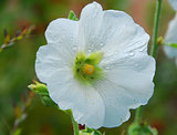 white Alcea hollyhock flower